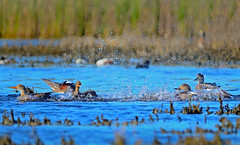 A Territorial fight between the male Gadwall in a group over a female ... (Sutapa Karmakar) Tags: sigma150500mm nikond7000 bird nature birdphotography coyote hills coyotehills naturephotograph californiabird