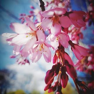 Bienvenida primavera #spring #primavera #flor #flores #flowers #flower #equinoccio #ostara #pink #rosa #love #amor