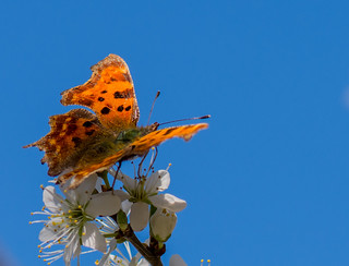 Comma on Blackthorn
