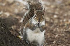 Eastern Gray Squirrel (Sciurus carolinensis); Fort Meyers, Florida, Lakes Regional Park [Lou Feltz] (deserttoad) Tags: nature animal park florida rodent squirrel refuge behavior
