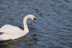 224 (AO'Brien) Tags: arklow wicklow autumn birds swan
