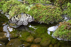 Giant Tree Nymph Butterfly (Idea leuconoe) (Seventh Heaven Photography) Tags: giant nymph tree butterfly rice paper kite idea leuconoe idealeuconoe insect water moss reflection stones pebbles