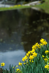 Yoichino (hirorin2013) Tags: 菜の花 桜 村落・街・都市 植物 与一野 木 草花 cherryblossoms flower 山県郡 広島県 日本 jp