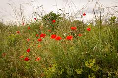 Coquelicots (ReactorOne) Tags: champs extérieur fleurs coquelicots jardins verdure