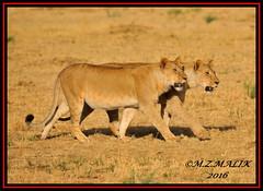 KING OF THE JUNGLE (Panthera leo)....MASAI MARA......SEPT,2016 (M Z Malik) Tags: nikon d3x 200400mm14afs africa kenya safari wildlife masaimara keekoroklodge exoticafricanwildlife exoticafricancats flickrbigcats lions leo