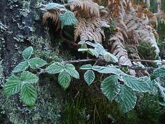 Brambles (Rubus fruticosus), The Hermitage, Dunkeld (Niall Corbet) Tags: scotland perthshire dunkeld hermitage nationaltrust nts winter brambles rubusfruticosus frost