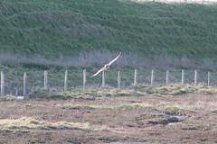 Owl (M_Stam) Tags: owl uil bird hunter velduil shorteared asio flammeus landscape zeeland wild netherlands