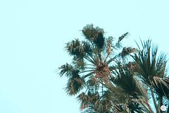 Palm (@ aspe simo) Tags: pal palm palma palms palme estate cielo sky summer vibes france cannes day sun sunny sole serenoday giorno sereno photoshop lightroom nature natura naturale natural colorfull blue green azzurro verde