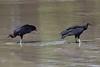 Black Vultures, Iporanga Beach, Guaruja, Brazil CQ4A9171 (Hart Walter) Tags: serradomar birdsoftheatlanticforest santos guaruja ilhabela islandofsaosebastiao mealyamazon kite caracara kingfisher saopedronaturereserve blackvulture phyllomysthomasi giantatlantictreerat tanagers kelpgull bluedacnis brownboobie pigeon maskedwatertyrant neotropicalforest surfing squirrelcuckoo