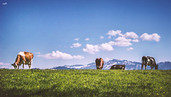 Mellow! (VandenBerge Photography (this week mostly absent)) Tags: landscape nature canon cows clouds blue green grass mountain switzerland sky alps berneseoberland panorama animals