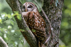 Barred Owl (backyardzoo) Tags: barred