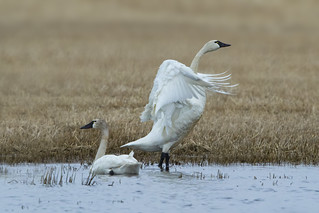 Tundra Swans Walking on water