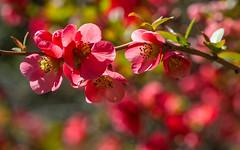 Tonique ! (invigorating ! ) (Larch) Tags: pommierdujapon japanesecrabappletree japaneseappletree fleur flower floraison inbloom spring printemps bloom tonique revigorant tonic bokeh lajaysinia jardin garden samöens hautesavoie france blossom