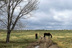 A Welcome Greening (Patricia Henschen) Tags: chicobasinranch ranch colorado coloradosprings headquarters horse horses muddy road clouds cloudy pathscaminhos