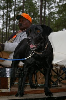 Georgia Mule Drawn Quail Hunt 53