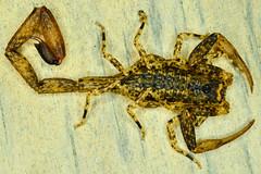 Buthidae, Tityus gr clathratus (aracnologo) Tags: amazon amazonia amazonforest amazonbiome amazônia arachnida arachnid aracnídeo scorpiones scorpion escorpião escopião alacrán buthidae buthid tityus tityusgrclathratus archaeotityus cruzeirodosul acre