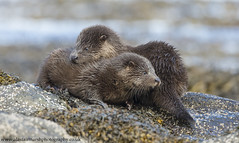 Otter Cubs (Alastair Marsh Photography) Tags: otter otters ottercub ottercubs otterfamily mammal mammals babymammal animal animals animalsintheirlandscape wildlife scotland scottishwildlife scottishhighlands scottishmammals scottishmammal fur rock rocks seaweed isle isleofmull mull britishwildlife britishanimals britishanimal britishmammals britishmammal loch water ocean sea
