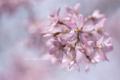 Aim High (dog ma) Tags: pink weeping cherry blossom tree flower bokeh dogma jodytrappephotography nikon d750 nikkor 105mm macro blue sky