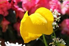 questo è giallo (archgionni) Tags: natura nature macro colori colours petali petals fiori flowers giallo yellow