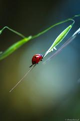 cox-001 (bonacherajf) Tags: corse corsica coccinelle insecte macro