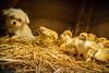 Cold Dog (Emil de Jong - Kijklens) Tags: hond dog kuiken chick chicks geel yellow warmte heat hot hotdog winkelcentrum assendelft kinderboerderij pasen easter warmtelamp lamp explore animal