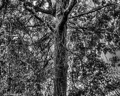 Tree Overtaken By Vines (that_damn_duck) Tags: blackandwhite monochrome nature tree vines leaves bw blackwhite