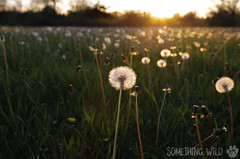 Make a Wish (Something Wild Photography) Tags: flower flowers dandelion dandelions field fields meadow sun sunset sunsetting sunshine horizon grass green sky skies nature natural wish dusk