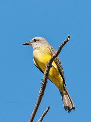 Tropical Kingbird (Tyrannus melancholicus) (Arturo Nahum) Tags: costarica aves animal arturonahum ave airelibre birdwatcher bird birds wilflife wild nature naturaleza naturephotography pajaro pajaros