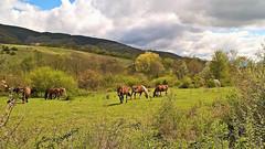 Buona Pasqua (GIASTE) Tags: cavalli pascolo