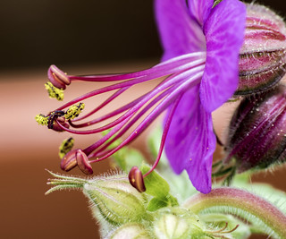 Fleur de geranium à grosses racines (Geranium macrorrhizum).