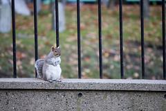 Squirrel posing at Boston Commons (Dr. Arpit Mehta) Tags: squirrel boston bostoncommon bostoncommons park posing