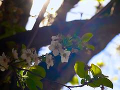 Montevista 20150313 (caligula1995) Tags: 2015 flowers montevista moon morning plumtree