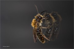 ... detox ... (neurosheep) Tags: bee reflection macro odc