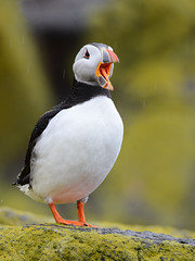 Papagaio-do-mar // Atlantic Puffin (jvverde) Tags: atlanticpuffin puffin papagaiodomar fraterculaarctica fradinho