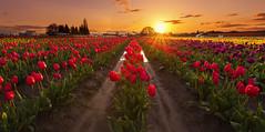 Sunset at Woodburn Tulip Field. (Woodburn, OR) (Sveta Imnadze) Tags: landscape woodburn oregon tulipfield woodenshoetulipfestival flowers tulips sunset