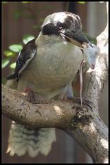 Kookaburra Lunch Time (KRIV Photos) Tags: hawaii honolulu honoluluzoo kookaburra usa animal bird