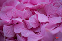 Hydrangea (SPP - Photography) Tags: usa flowers plants saintpaulmn flower canon canon6d twincities 100mm 6d macro100mm blossom blooms pink flowersplants hydrangea marjoriemcneelyconservatory blooming blossoms nature eos6d minnesota
