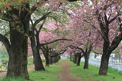 Cherry-Tree-Lined Path(Along Asakawa River) (seiji2012) Tags: 桜 八重桜 浅川 八王子市 新緑 cherrytree cherryblossom path asakawariver hachioji