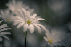 Don't cry for me (hploeckl) Tags: pentacon av projectionlens projection diaplan bokeh artistic white spring anemone flowers vintage