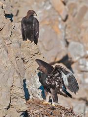 Goden Eagle nest (knobby6) Tags: goldeneagles raptors birdsofprey goldies rockeagles bird nature