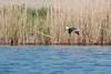 Echasse blanche (philph0t0) Tags: échasseblanche himantopushimantopus blackwingedstilt échasse blanche himantopus blackwinged stilt bird oiseau marais