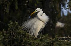 Great Egret (nikunj.m.patel) Tags: egret birds avian beauty wildlife nature bird greategret spring rookery