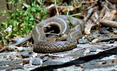 Eastern Garter Snake (Black Hound) Tags: sony a500 minolta newlingristmill snake gartersnake