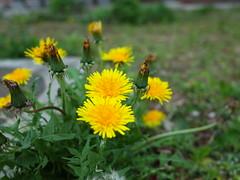 Dandelion (bakedroy) Tags: flower nature