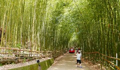 苗栗秘境 - 3 Miaoli County Secret Scenic Area (rightway20150101) Tags: 竹林 bamboo miaoli taiwan 苗栗秘境
