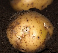Seed potato (iwbaird) Tags: macromondays seeds potatoes macro closeup vegetables fuji bridgecameras