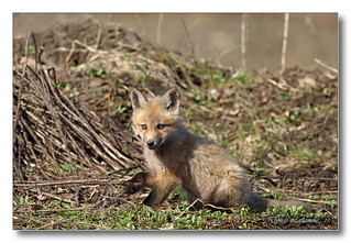 103A1058-DL   Renard roux / Red fox.