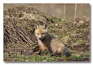 103A1058-DL   Renard roux / Red fox.