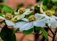 Blooming Dog. (Omygodtom) Tags: outdoors dogwood green golden holiday ice bloom happy cielo flower flickr spring april tamron90mm nikon nature natural digital star