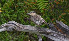 Pitio (Colaptes pitius) (Pabloskino) Tags: chile birds aves de fauna wildlife chiloe woodpecker flicker chilean colaptes pitius pitio tronco nature